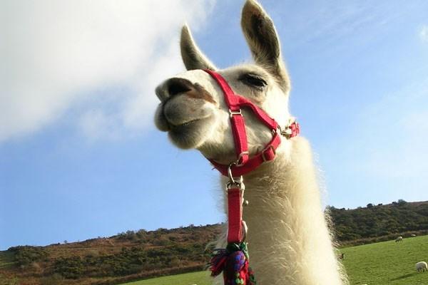 image of Llama Trekking with Cream Tea for One