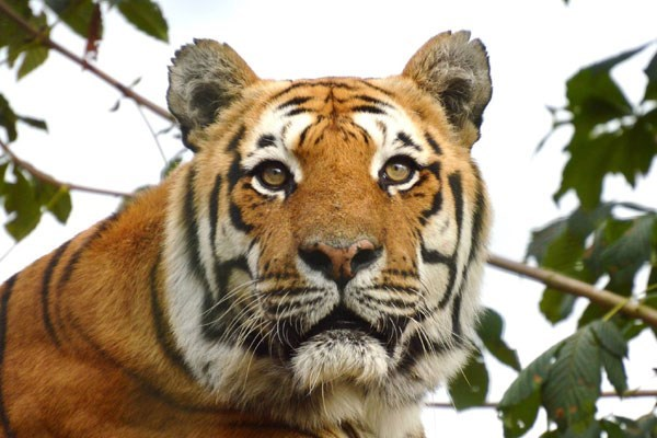 Adopt a Tiger including Tickets to Paradise Wildlife Park Photo 1
