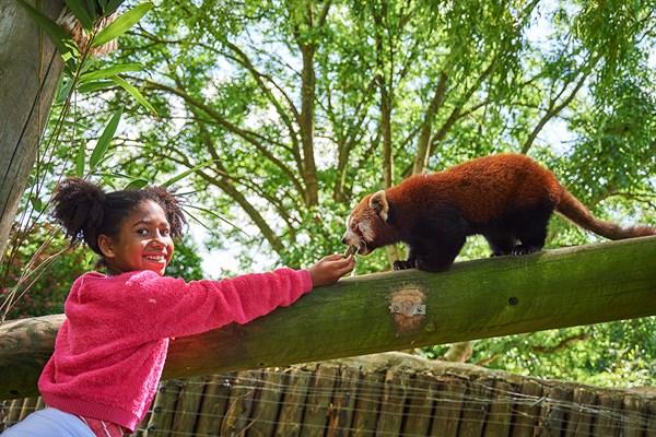 Red Panda Encounter at Drusillas Zoo Park