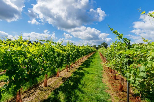 Vineyard Tour with Wine Tasting for Two at Kingscote Estate