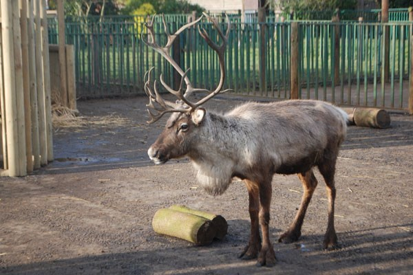 Adopt a Reindeer including Tickets to Paradise Wildlife Park Photo 1