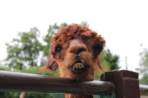 Adopt an Alpaca with tickets to Paradise Wildlife Park