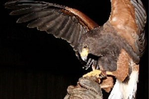 Click to view details and reviews for Birds Of Prey Experience In Fife.