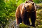 Four Night Bear Tracking Adventure in Romania