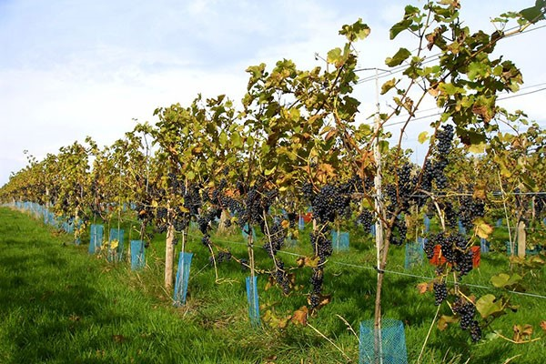 Sedlescombe Organic Deluxe Vineyard Tour and Tasting for Two in East Sussex