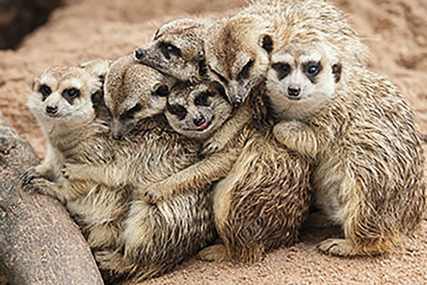Meeting the Meerkats for Two, Oxfordshire