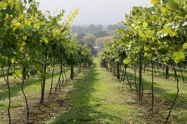 British Vineyard Tour And Tasting With Lunch For Two