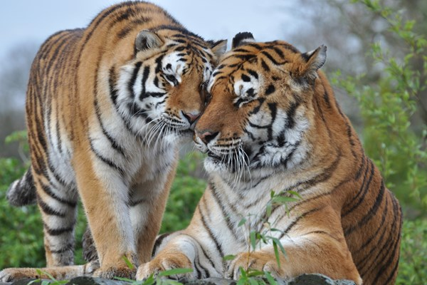Breakfast with the Big Cats for Two at Paradise Wildlife Park
