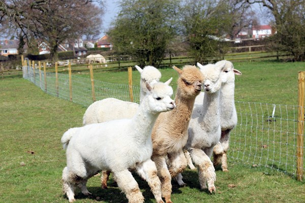 Lucky Tails Alpaca Farm Entry with Alpaca Walk for Two Adults a Two Children