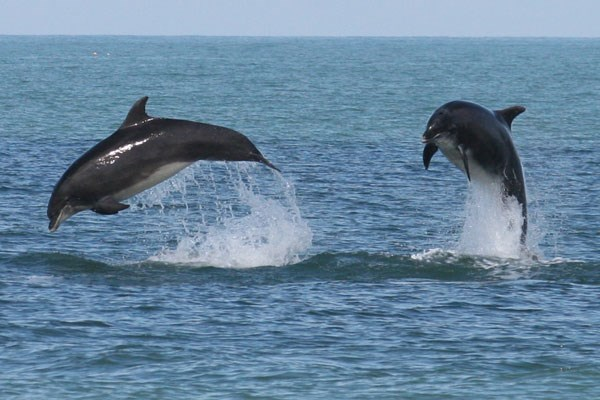 Two dolphins jumping out of the water in Cornwall