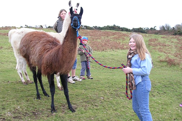 Meet and Greet Llama Experience with Afternoon Cream Tea for Two