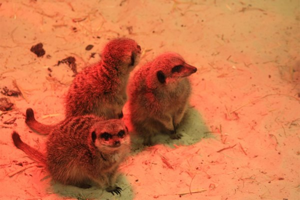Meet the Meerkats with Park Entry for Two at Ark Wildlife Park