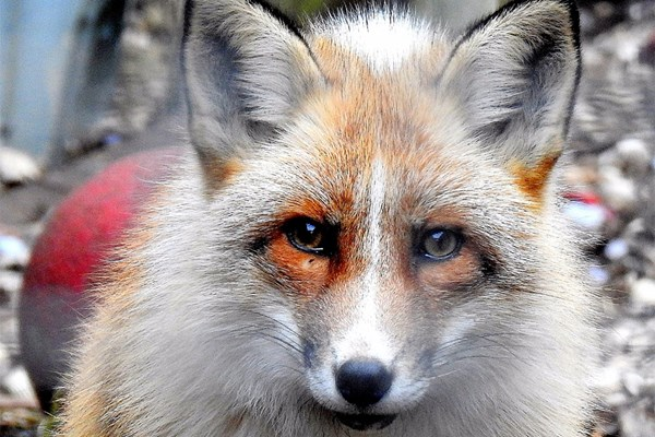 Meet the Red Fox with Lunch for Two at Ark Wildlife Park