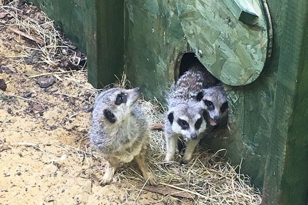 Meet the Meerkats Experience for Two at Willow's Bird of Prey Centre