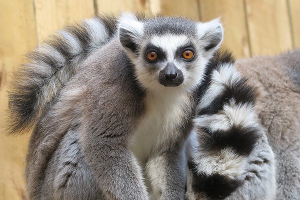 Meet the Lemurs Experience for Two at Ventura Wildlife Park