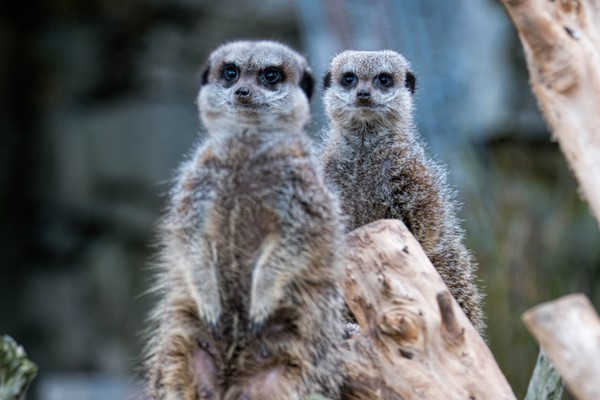 Welsh Mountain Zoo Entry and Meerkat Experience for Two