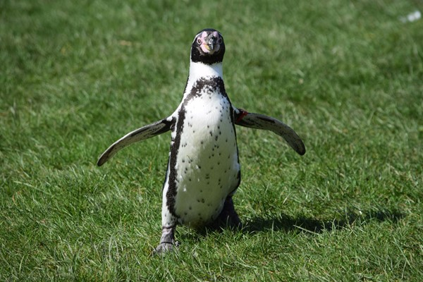 Welsh Mountain Zoo Entry and Humboldt Penguin Experience for Two