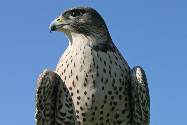 Half Day Falconry Experience at Hilltop Birds of Prey for Two