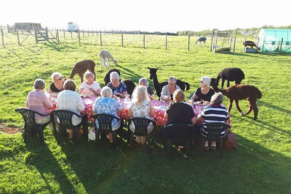 Family Cream Tea with Alpacas