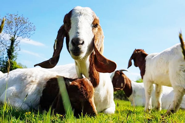 One Hour Goat Experience for Two in Worcester