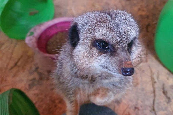 Meet the Meerkats Experience at Lucky Tails Alpaca Farm for Two