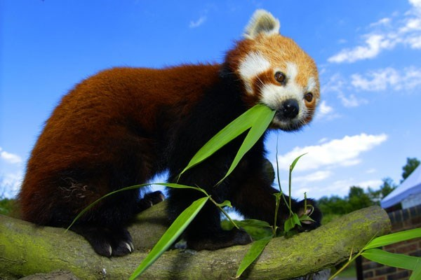 https://images.buyagift.co.uk/common/client/Images/Product/Extralarge/en-GB/Red-Panda--227.jpg