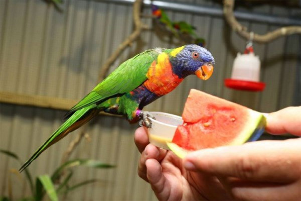 Meet the Lorikeets and Afternoon Tea for Two at Kirkley Hall Zoo