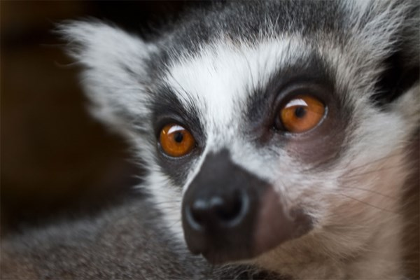 Meet the Lemurs and Afternoon Tea for Two at Kirkley Hall Zoo