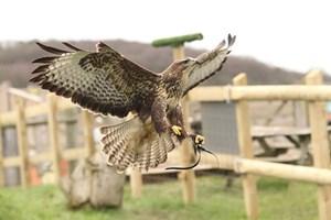 Half Day Falconry Experience With Coda Falconry