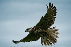 Full Day Falconry Experience At The Falconry School