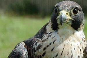 Birds of Prey Experience in Fife