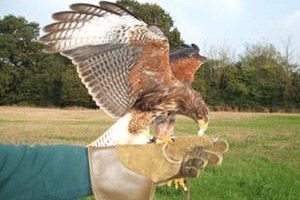 Birds of Prey Day in Essex