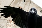 Meet Loki the Raven Experience for Two with Coda Falconry